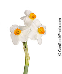 Three orange-and-white flowers of a tazetta daffodil