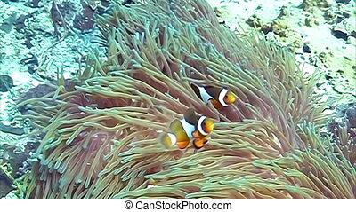 Orange Clown fishes