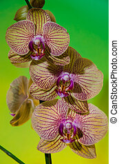 three orchids over green
