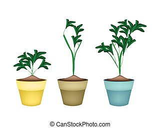 Three Ornamental Plants in Ceramic Flower Pots