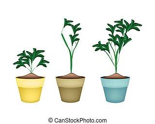 Three Ornamental Plants in Ceramic Flower Pots