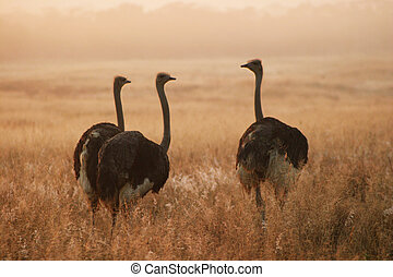 Three Ostriches - Three ostriches standing at sunrise