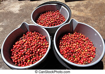 Three pails of red coffee beans - Harvested arabica red ...