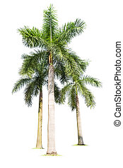 three palm trees isolated on white , king coconut