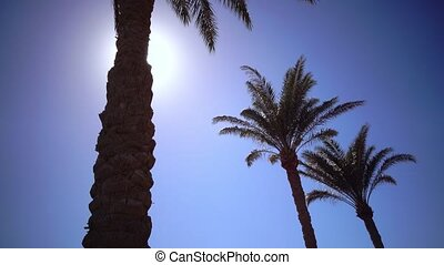Three palms twist in the sunlight - Three palms twist in...