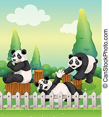 Three panda bears in the zoo