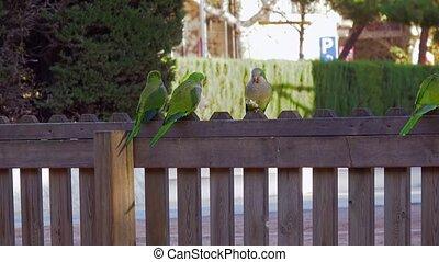 Three parrots Monk Parakeets Myiopsitta monachus eating...