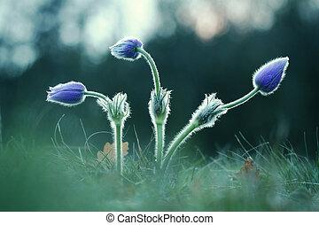 Three Pasque Wild Flower buds in springtime