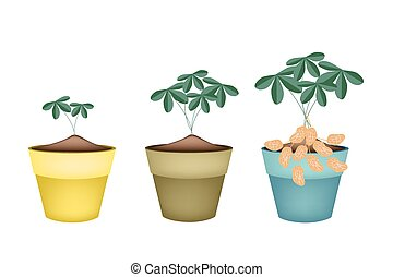 Three Peanuts Plant in Ceramic Flower Pots