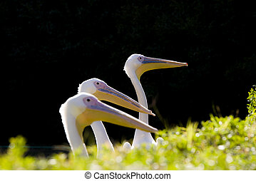 Three pelicans in a row.