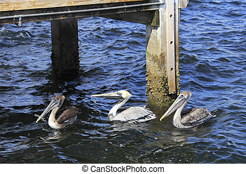 Three Pelicans in the Water