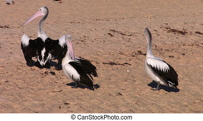 Three pelicans on a beach shot