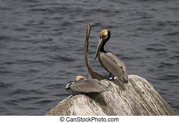 Three pelicans on a rock