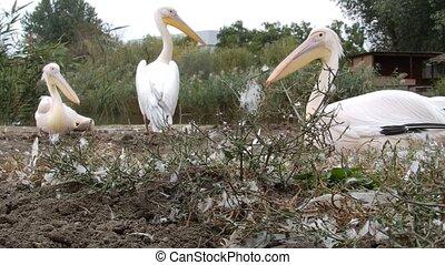 Three pelicans resting