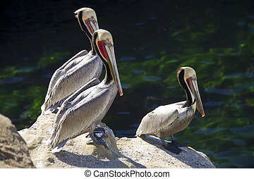 three pelicans sitting on the rocks