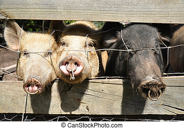 Three pigs (swine) in a holding pen looking out at the...