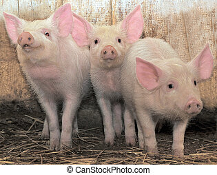 Three pigs - Three young pigs who with watchfulness look