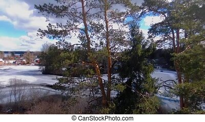 Three pines on the background of a frozen lake in the spring