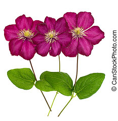 Three pink clematis isolated