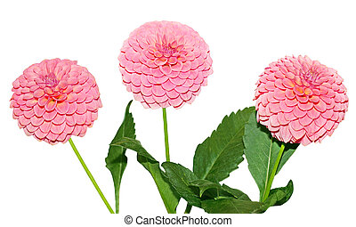Three pink Dahlia Flower
