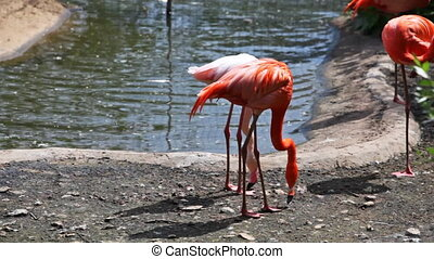 pink flamingos have rest and play near lake in park - three...