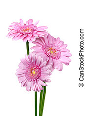 Three Pink Gerber Daisies Isolated - Three pink gerber...