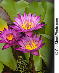 Three Pink lotus blossoms or water lily flowers blooming on pond