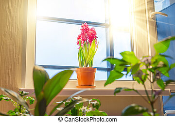 Three pink purple hyacinths among other indoor flowers and plants on the windowsill in the apartment illuminated by the sunshine from the balcony.