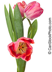 three pink tulip flowers isolated on white background
