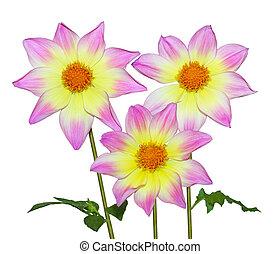 Pink yellow Dahlia