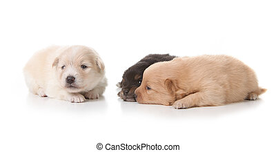 Three Pomeranian Puppies on White