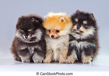 Three Pomeranian puppies - Three fluffy Pomeranian puppies...