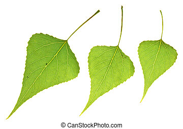 three Poplar leaf  - three poplar leaf isolated on white