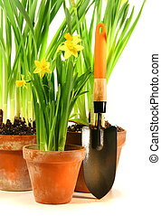 Three pots of daffodils with garden shovel