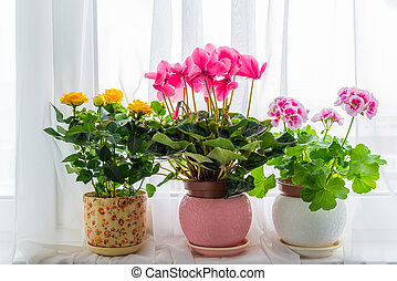 Three potted flower stand on windowsill in curtains...