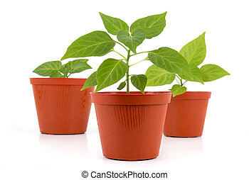 Three Potted hot pepper young plant