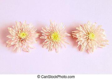 Three Ppnk chrysanthemums arrangement on pink background. Flat lay, top view. Floral background.