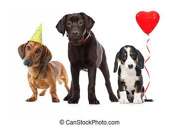 three puppies celebrating a birthday on white background