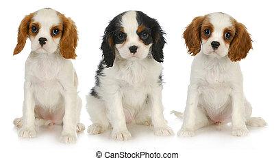 three puppies - litter of cavalier king charles spaniel ...