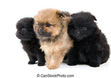 Three puppies of the spitz-dog in studio