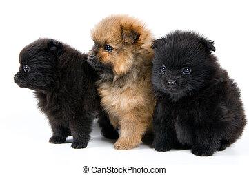 Three puppies of the spitz-dog