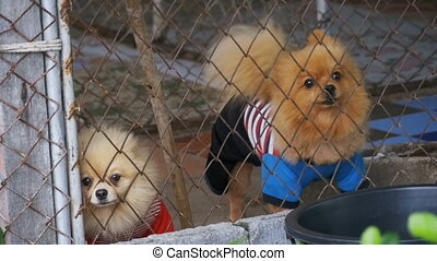 Three purebred little dogs bark viciously behind the fence...