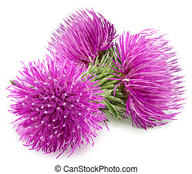 Three purple flower of carduus with green bud.