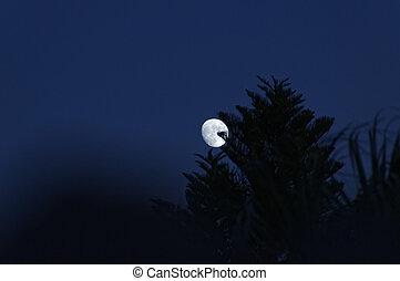three quarter moon rising over pine tree