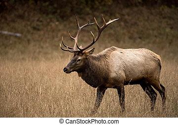 Three Quarter View of Walking Bull Elk