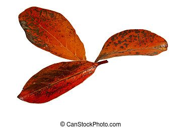 Three Red and Orange Leaves on White Background