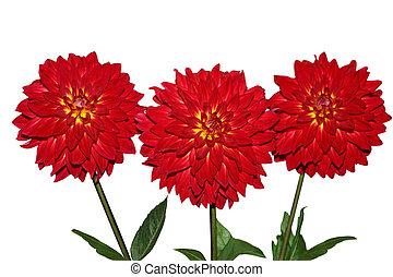 Three Red Dahlia