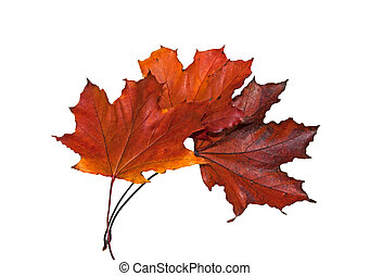 Three red dry maple leaves