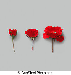 Three Red Roses on a grey background