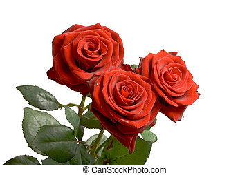 Three red roses on white background